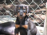 We have Female AKC Doberman puppies for sale that are 6