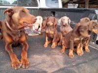 Beautiful puppies now ready for new homes 3 red rust