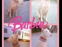 Barbie is a purebred 2 year old Doberman Pinscher and