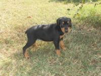 Doberman puppies for sale. red n tans and black n tan