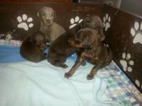 I have 5 doberman dogs I am taking $100.00 deposits on.