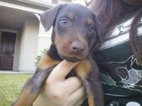 THERE IS ONLY ONE LEFT! She is a red female puppy with
