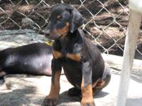 We have Male AKC Doberman puppies for sale that are 6