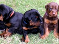 Doberman puppies! European bloodlines. Check out our
