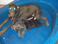 we have family pets dobermans and there puppies that