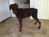 Brown Doberman Male 9 months old AKC papered Ears not