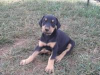 2 male doberman puppies for sale 8 week old shot up to
