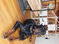 still offered 7 month aged male dobie. began obedience