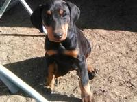 Beautiful female doberman puppy for sale 350 looking
