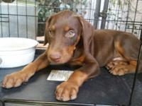 I have a male doberman Puppy for sale he's a 2 shots