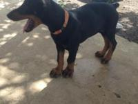 Doberman Puppies Purebreed. Born 01/17/14 Purebred