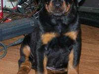 Doberman/Rottweiler cross puppy. Sire is AKC Doberman