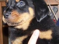 We have 2 lovely male Doberman/Rottweiler cross young