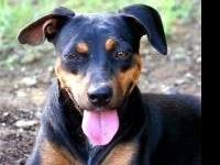 Doberman Pinscher - Blossom - Large - Young - Female -