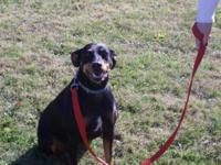 Doberman Pinscher - Dakota - Medium - Young - Female -