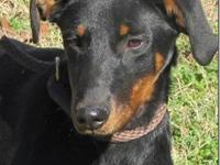 Doberman Pinscher - Mazie ~ In New England! - Large -