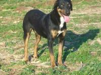 Doberman Pinscher - Pal- Urgent!!! - Medium - Young -