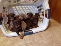 I have 8 doberman puppies 2 fawn and the rest are