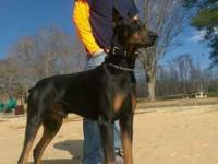 AKC registered male and intact for approved home only.