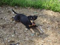 Doberman Pinscher - Riley - Large - Baby - Male - Dog
