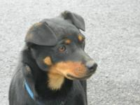 Doberman Pinscher - Roscoe- Neutered - Medium - Young -