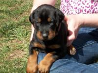 Beautiful Champion line 8 week old doberman puppies