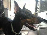 Lovely AKC Dobermans pups offered. Dam is Blitzkriegs