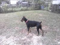 AKC Doberman pups ready now. These will be large.