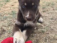 Dobie's story Dobie is a 9 week old mixed breed! This