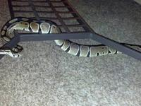 Docile, adult, male ball python for sale with all the