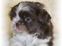 Dodge is a gorgeous Chocolate & White tiny male with