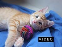 Dodge's story Description: Light orange tabby with