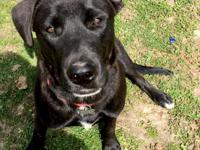 Dodge is a beautiful black Lab who will be a year old