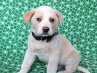 Dodger is a 10 week old lab mix .His Adoption fee is