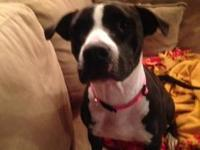 DOG IN NEED OF HOME!!*** Young Female Pitbull, Black &