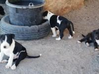 I have 6 adorable puppies available, most are black and