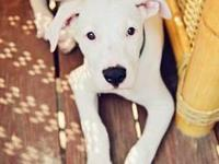 Available Now-Dogo Argentino Puppies for Sale in Erie, Pennsylvania