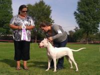 Dogo Argentino puppies coming this October. Mother is