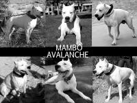 Dogo Argentino puppies for sale. These are exceptional