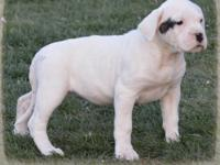 This Beautiful White w/ Spot by Right Eye Female puppy