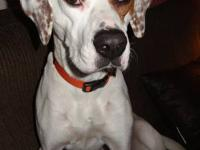 Dogo Argentino - Snow - Large - Adult - Male - Dog All