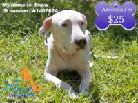 Dogo Argentino - Snow White - Medium - Young - Female -