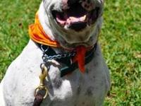 Dogo Argentino - Jethro, Pba - Large - Adult - Male -