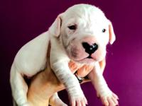 AKC/UKC Dogo Argentino old type lines from world wide