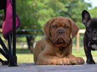 AKC one 13 week old male left. Champion bloodline and