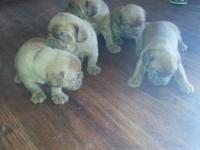 5 week old Dogue de Bordeaux puppies ... AKC ... Only