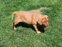 AKC Registered Dogue De Bordeaux female very sweet and