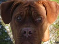 Dogue de Bordeaux - Jack The Dogue De Bordeaux - Extra
