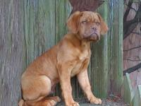 This is a full bred French Mastiff (Dogue De Bordeaux)