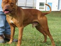 Dogue de Bordeaux - Red - Large - Adult - Male - Dog